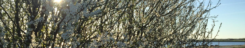 Livstjek - Blomsterende busk ved strand.1500x300