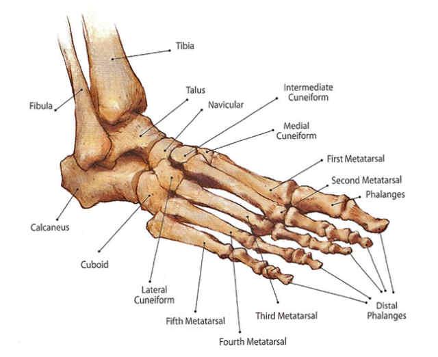 livstjek-fodens-knogler